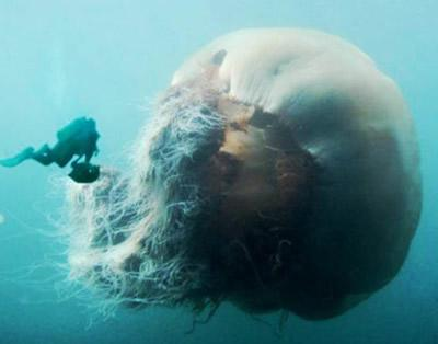Webstager - Webstager News Japanese Giant Jellyfish Invasion